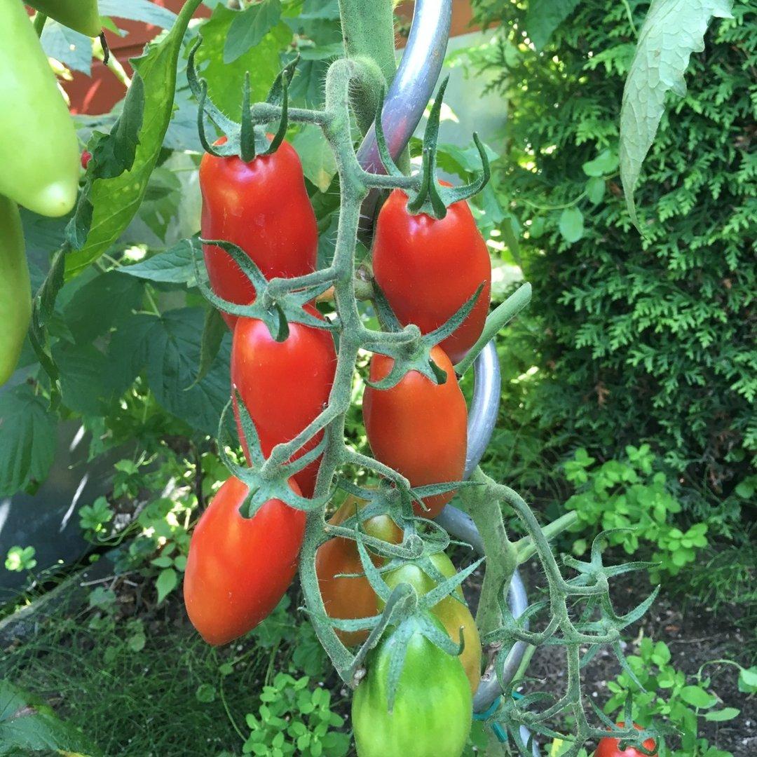 Tomate: Bauerntomate Honduras
