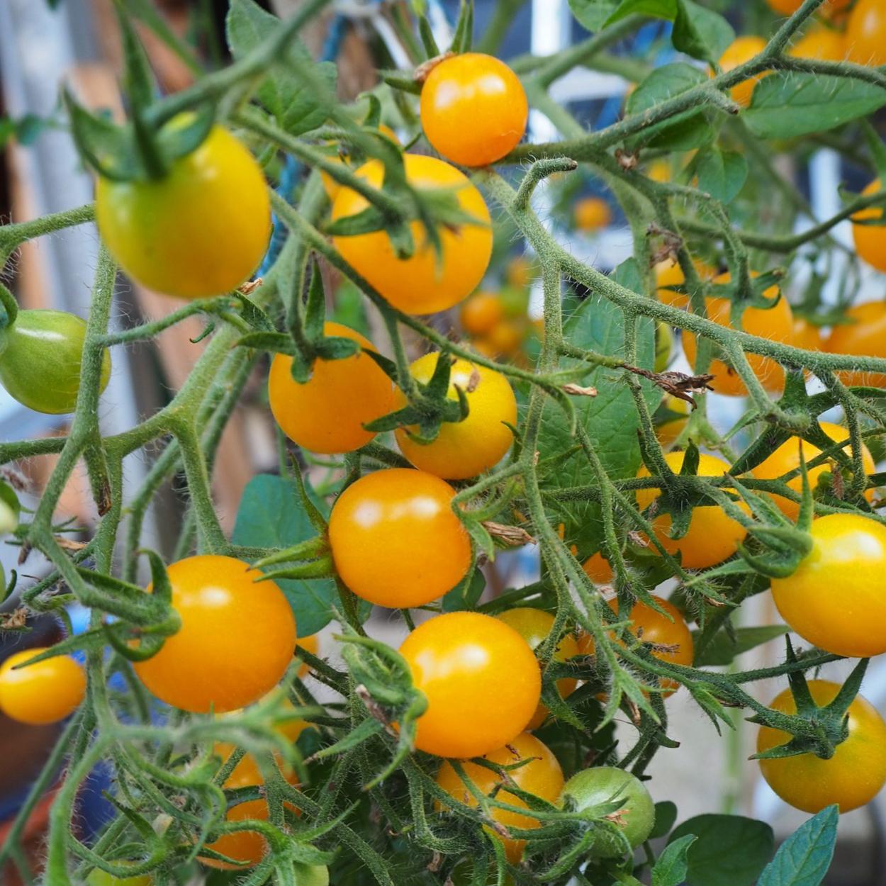 Tomate: Ildi