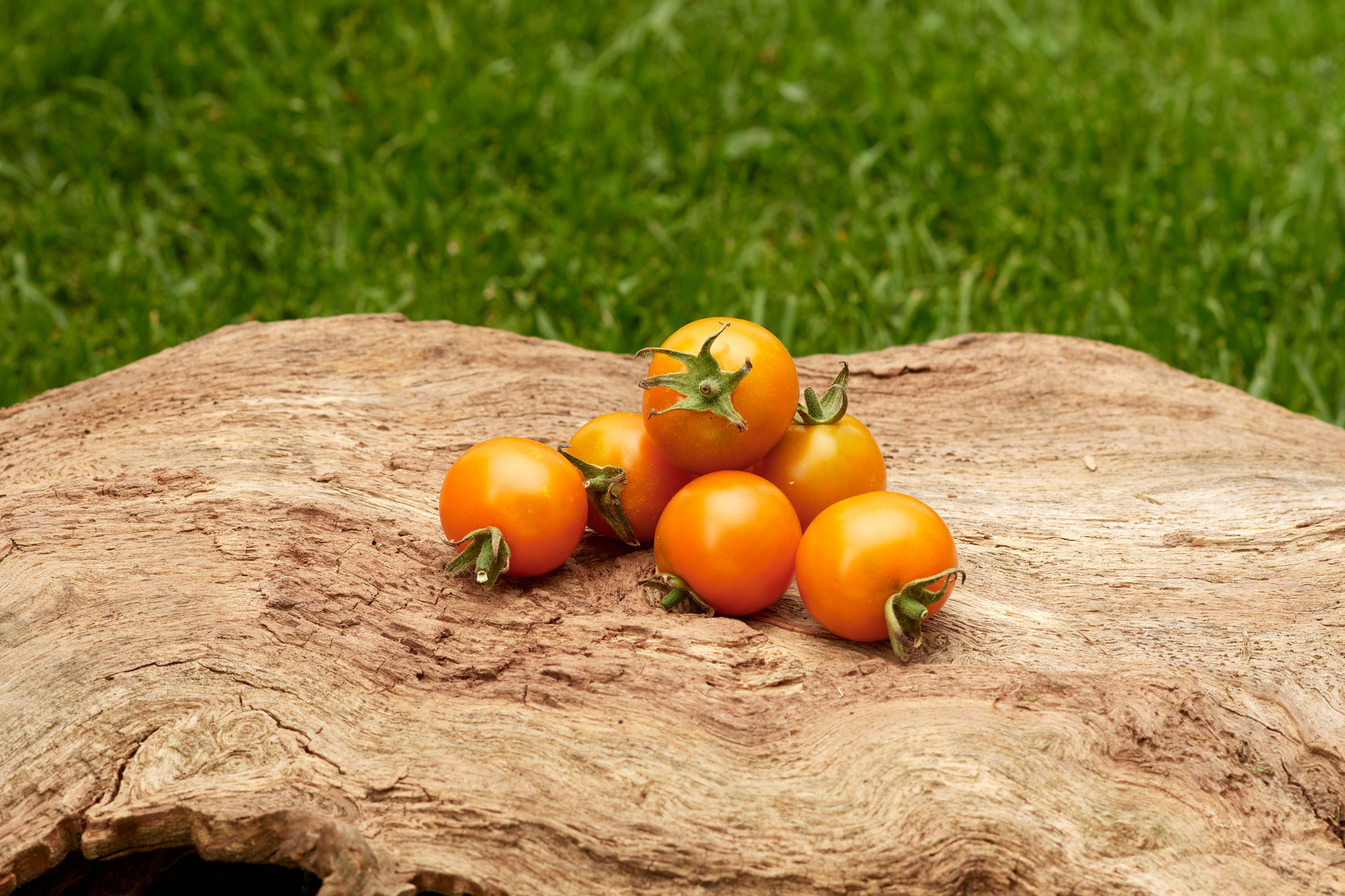 Tomate: Sungold