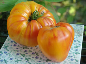 Tomate: Ochsenherz Orange