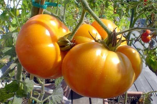 Tomate: German Gold