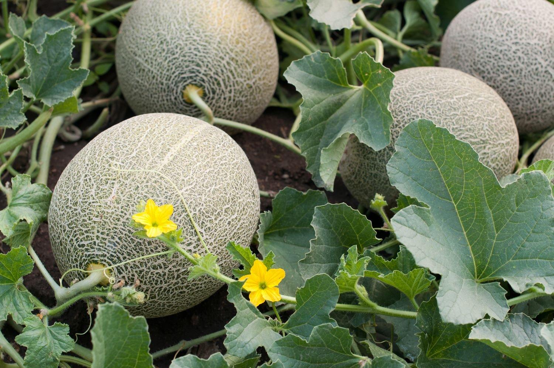 Melone: Petit Gris de Rennes